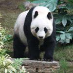 Über den Panda